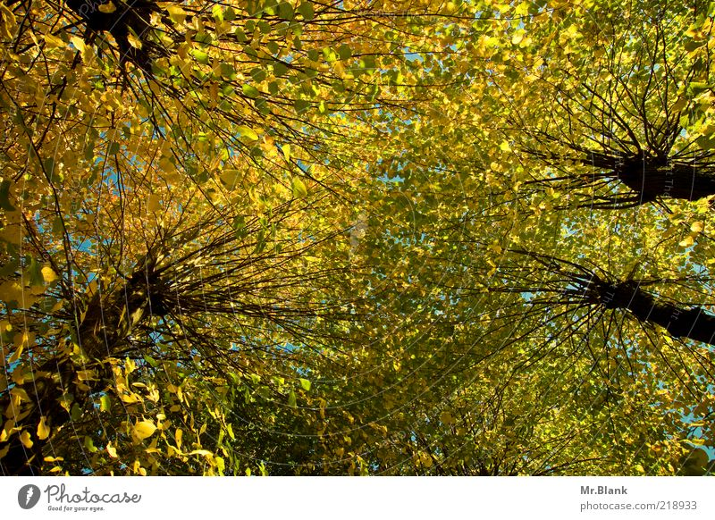 Nature Tree Green Plant Leaf Yellow Autumn Upward Treetop Vista Autumnal Autumnal colours Leaf canopy