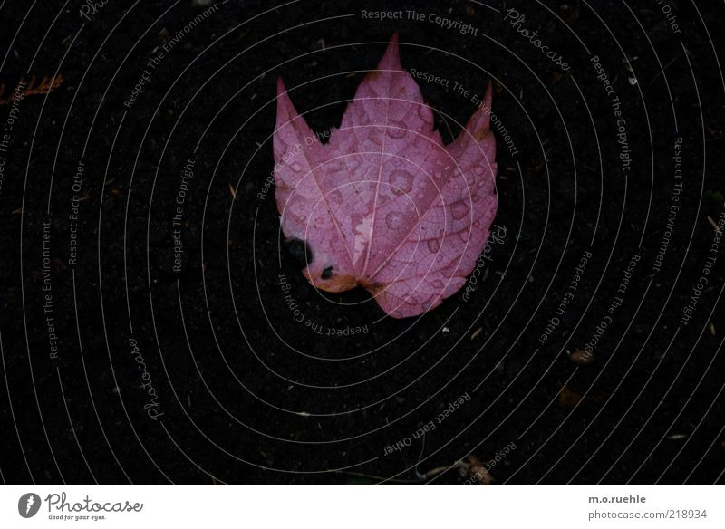 loose Environment Nature Plant Autumn Leaf Variable Transience Pink Colouring Earth Colour photo Exterior shot Close-up Deserted Copy Space left