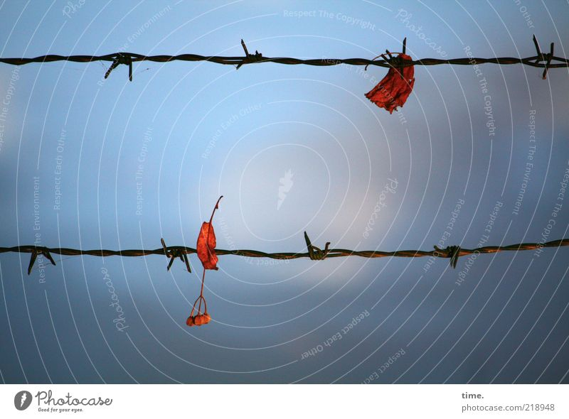 stop Autumn Leaf Red Barbed wire Barbed wire fence Captured entangled Metal Metalware Sky Blue Depth of field Deserted Twilight Detail Fence Clouds Impaled 2