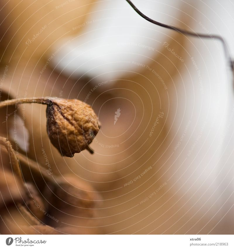 brown Nature Plant Brown Autumn Colour photo Exterior shot Close-up Detail Copy Space right Shallow depth of field Shriveled Wizened Blossom Limp Dry Suspended