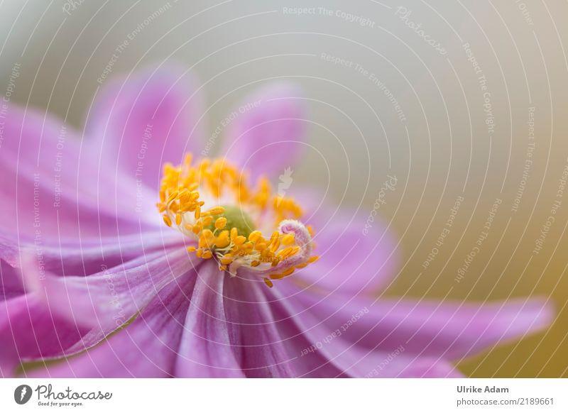 Autumn Anemone Design Harmonious Well-being Contentment Relaxation Calm Meditation Arrange Decoration Wallpaper Nature Plant Summer Flower Blossom