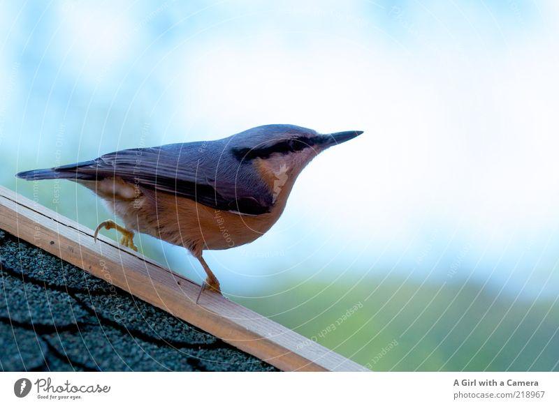 Beautiful Blue Animal Bird Gold Esthetic Soft Climbing Observe Exceptional Appetite Beautiful weather Exotic Beak Dominant Astute