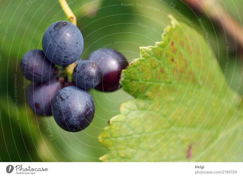 Baden Wine Environment Nature Plant Autumn Beautiful weather Leaf Agricultural crop Vine Bunch of grapes Field Hang Growth Authentic Fresh Small Delicious Round