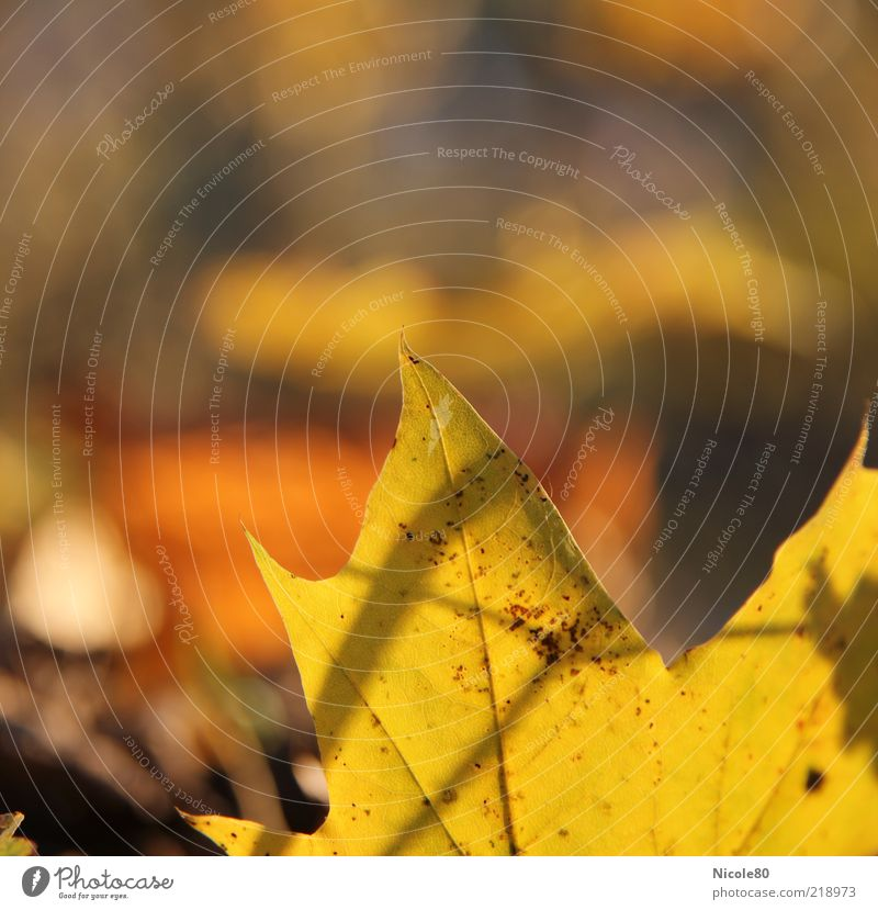 Nature Plant Leaf Autumn Environment Gold Point Rachis Maple tree Copy Space left Autumnal Autumnal colours Maple leaf Underside of a leaf