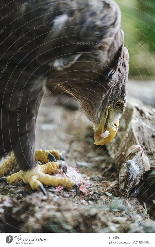 nibble Dead animal Bird Fish Animal face Scales Claw 2 To feed Near Brown Yellow Green Beak Appetite White-tailed eagle Part Colour photo Exterior shot Close-up