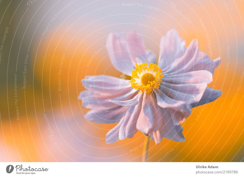 Autumn Anemone Harmonious Well-being Contentment Relaxation Calm Meditation Valentine's Day Mother's Day Nature Plant Sunlight Flower Blossom Chinese Anemone