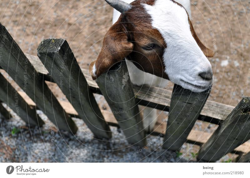 Calm Head Zoo Cute Farm Fence Watchfulness Pet Goats Farm animal Animal Baby animal Petting zoo Wooden fence