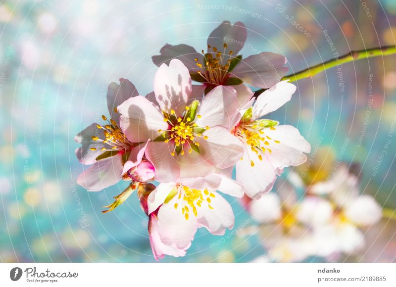 branch of blossoming almonds Beautiful Garden Nature Plant Sky Tree Flower Leaf Blossom Park Fresh Bright Natural Blue Pink White Almond background spring