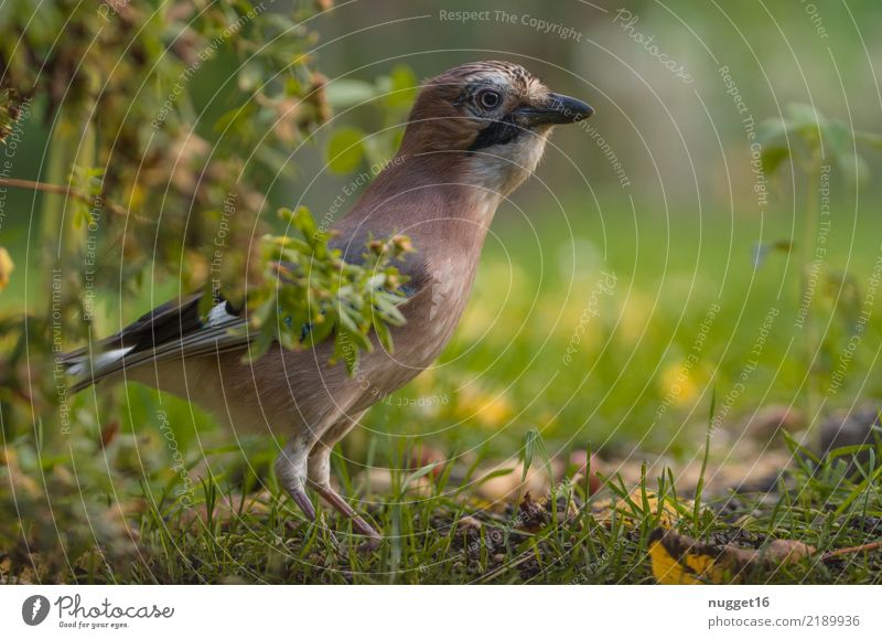 jays Environment Nature Animal Spring Summer Autumn Beautiful weather Plant Grass Bushes Garden Park Meadow Forest Wild animal Bird Animal face Wing Jay 1
