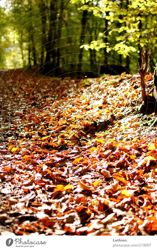 Nature Green Plant Leaf Forest Autumn Brown Earth Footpath Beautiful weather Autumn leaves Woodground Autumnal Wayside Autumnal colours