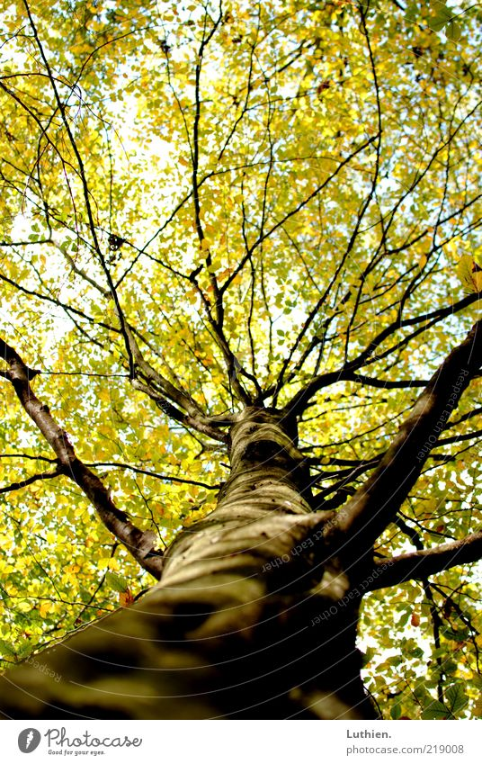 tree Nature Plant Autumn Tree Forest Wood Large Colour photo Exterior shot Deserted Day Shallow depth of field Green Tree trunk Leaf Leaf canopy Worm's-eye view