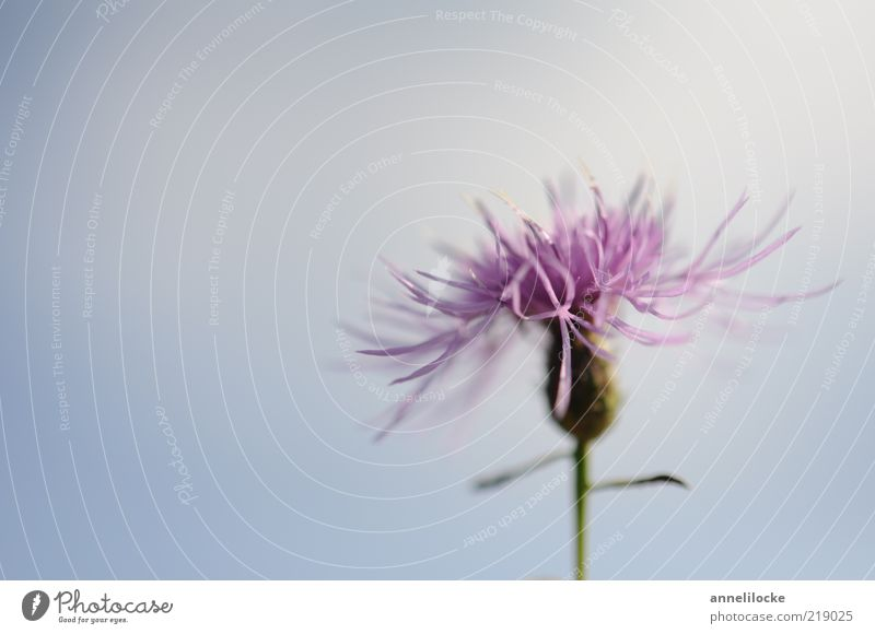 flake flower Environment Nature Plant Sky Summer Beautiful weather Flower Knapweed Blossom Blossoming Fragrance Blue Violet Growth Delicate Colour photo