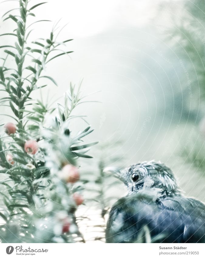 quietly. Bushes Animal Wild animal Bird Animal face Observe Calm Yew Loneliness Wait Hiding place Hide Curiosity Subdued colour Exterior shot Close-up Detail