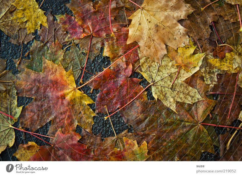 slush Environment Nature Autumn Leaf Street Lanes & trails Authentic Dirty Emotions Autumn leaves Autumnal Seasons Colouring Pavement Maple tree Level