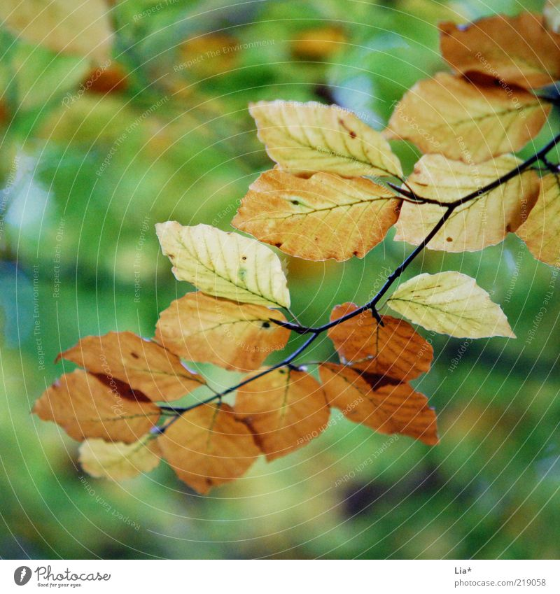 Green Leaf Environment Autumn Brown Seasons Twig Autumn leaves Autumnal Autumnal colours Early fall Leaf canopy Automn wood
