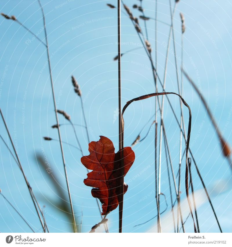 Nature Blue Red Leaf Autumn Grass Brown Esthetic Transience Uniqueness Blade of grass Beautiful weather Ease Center point Cloudless sky Wild plant