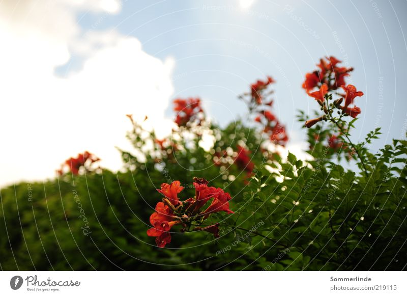 toward heaven Environment Nature Plant Sky Clouds Spring Summer Beautiful weather Flower Blossom trumpet flower Blossoming Growth Exotic Blue Green Red White