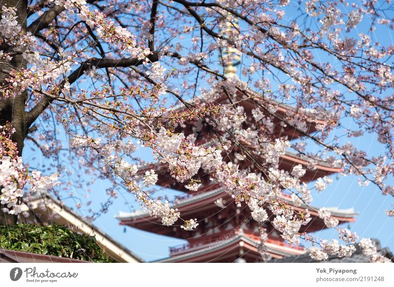 Japanese pagoda with cherry blossom or sakura at sensoji temple Beautiful Vacation & Travel Garden Spring Tree Flower Blossom Natural Pink Colour