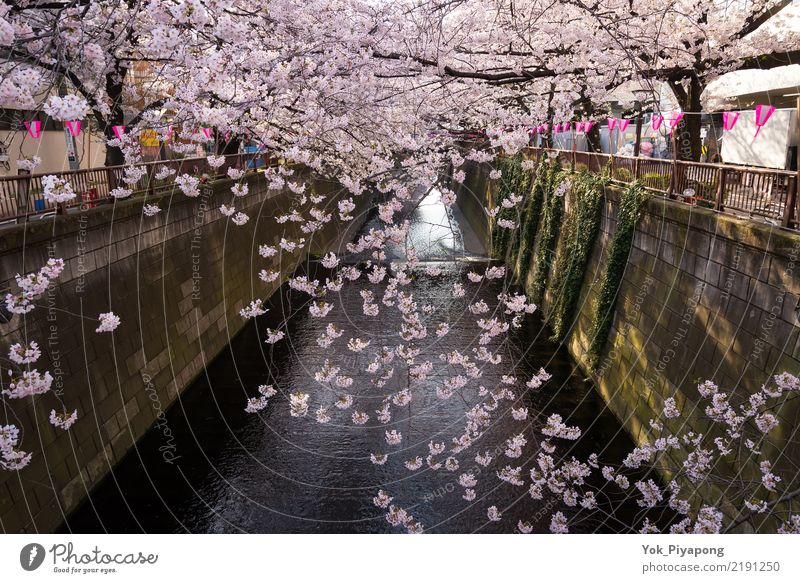 japanese sakura or cherry blossom in meguro river,Japan Beautiful Leisure and hobbies Vacation & Travel Tourism Garden Sky Spring Tree Flower Blossom Park River
