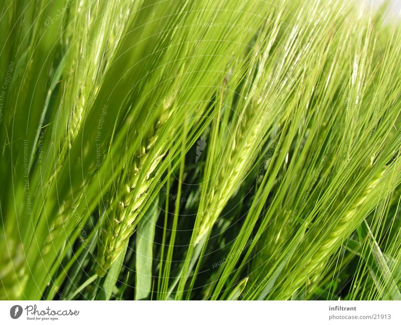 Nature Plant Field Grain Agriculture Ear of corn Barley