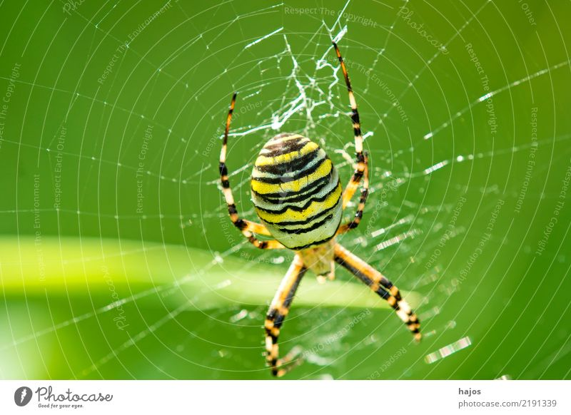 Wasp spider, Argiope bruennichi Cornacchiaia Nature Wild animal Spider Net Large Black-and-yellow argiope feminine Orb weaver spider Insect Zoology Colour photo