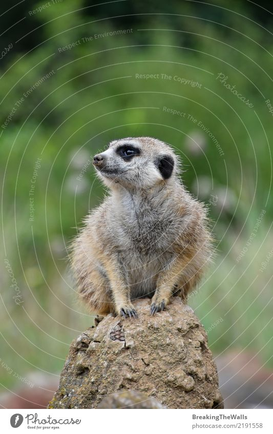 Close up of meerkat sitting alerted on the rock Animal Wild animal Animal face Zoo Meerkat 1 Green Safety Caution Fear Threat Sit Alert Watchfulness Rock
