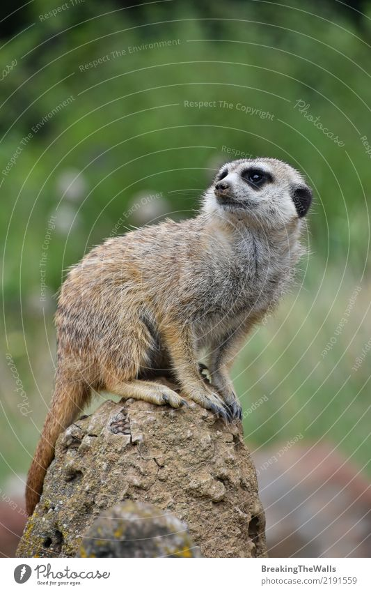 Close up of meerkat sitting alerted on the rock Animal Wild animal Animal face Zoo Meerkat 1 Green Safety Caution Fear Threat Sit Watchfulness Alert Rock