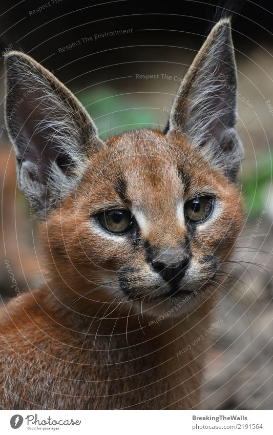 Close up portrait of caracal kitten looking into camera Cat Nature Beautiful Red Animal Dark Baby animal Eyes Wild Wild animal Cute Ear Delightful Animal face