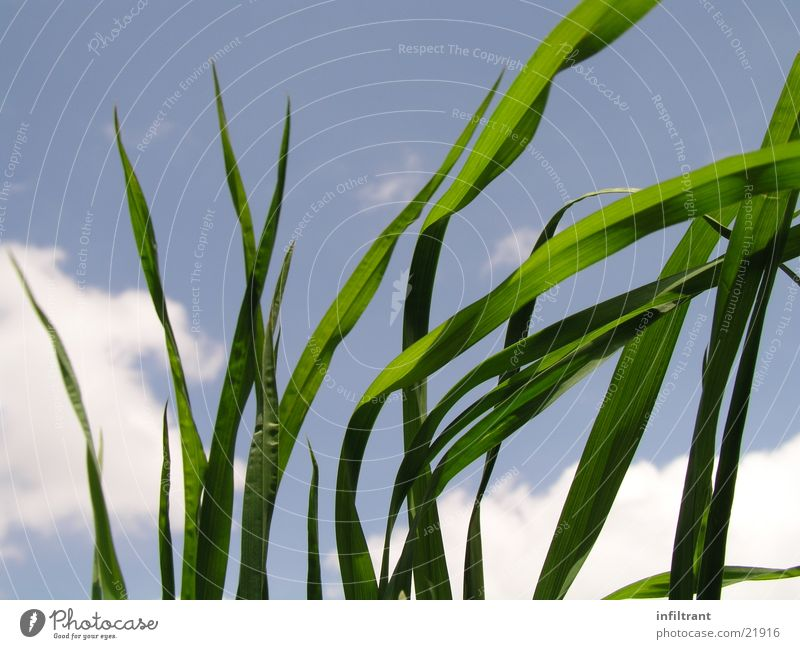 Nature Sky Green Blue Plant Summer Leaf Clouds Meadow Grass Spring Lawn Blade of grass