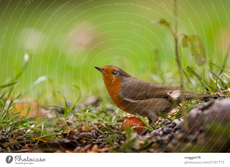 robin Animal Wild animal Bird Animal face Wing Robin redbreast 1 Esthetic Authentic Friendliness Beautiful Curiosity Cute Brown Multicoloured Yellow Gray Green