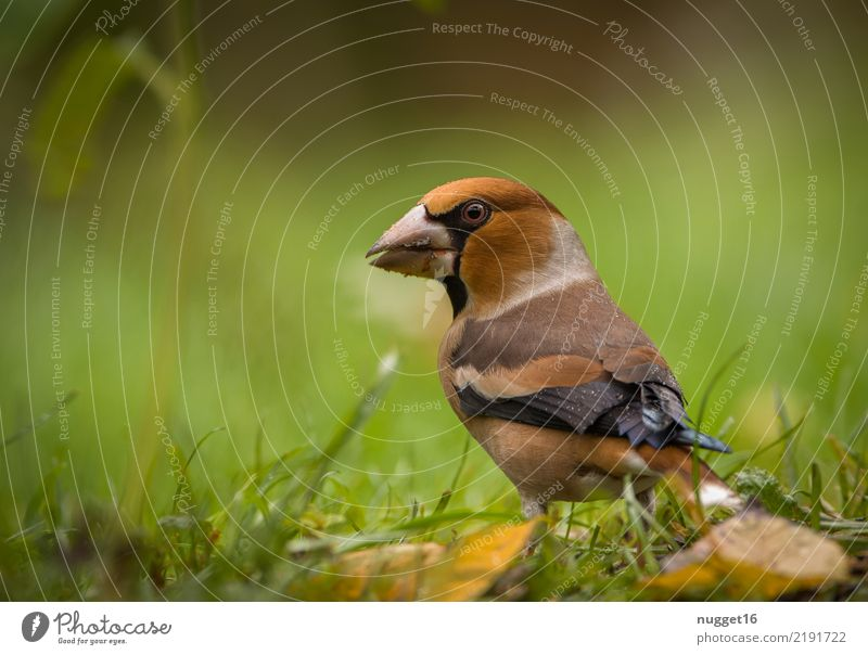 hawfinch Environment Nature Animal Spring Summer Autumn Beautiful weather Plant Grass Leaf Wild plant Garden Park Meadow Forest Wild animal Bird Animal face
