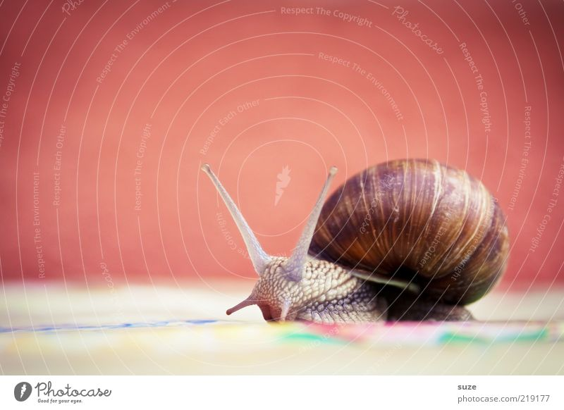 Hei Schnegge Animal Wild animal Snail 1 Movement Crawl Slimy Time Mucus Feeler Slowly Eyes Vineyard snail Colour photo Multicoloured Exterior shot Deserted Day