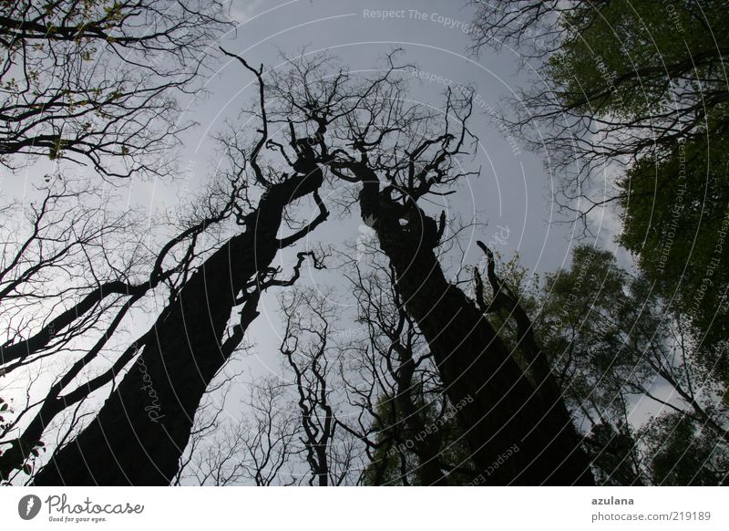Nature Old Tree Calm Black Loneliness Forest Wood Sadness Tall Esthetic Network Growth In pairs Threat Branch