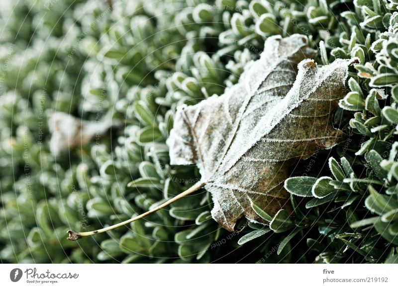 sticks a sheet to the side Environment Nature Autumn Ice Frost Plant Bushes Leaf Foliage plant Fresh Cold Wet Dew Hedge Colour photo Exterior shot Detail