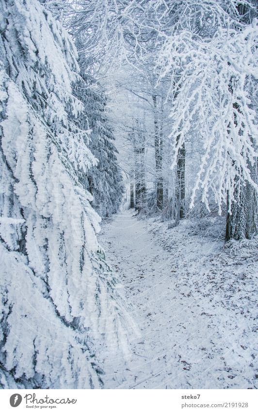 winter forest trail Winter Ice Frost Snow Tree Forest Lanes & trails Cold White Loneliness Perspective Calm Footpath Exterior shot Deserted Copy Space right