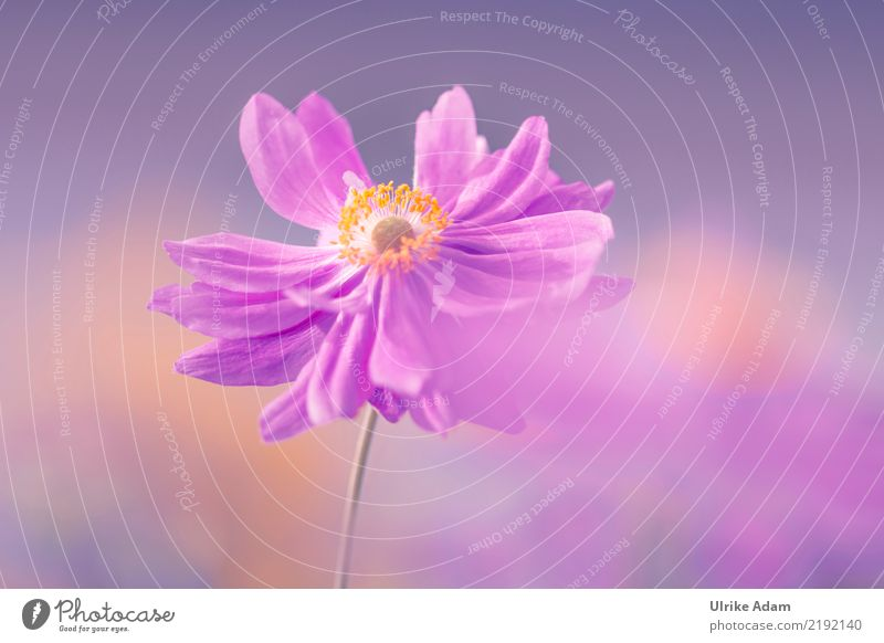 anemone Nature Plant Autumn Flower Blossom Anemone Chinese Anemone Pistil Pollen Garden Park Blossoming Natural Pink Warm-heartedness Romance Calm Relaxation