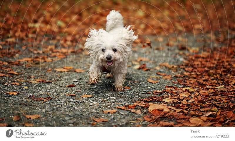 Dog Nature White Beautiful Leaf Animal Autumn Lanes & trails Small Orange Contentment Walking Running Happiness Cute Ear