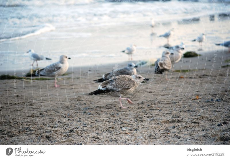 Seagulls III Beach Ocean Waves Coast Baltic Sea Bird Group of animals Flock Sand Water Walking Cold Blue Brown Gray Colour photo Subdued colour Exterior shot