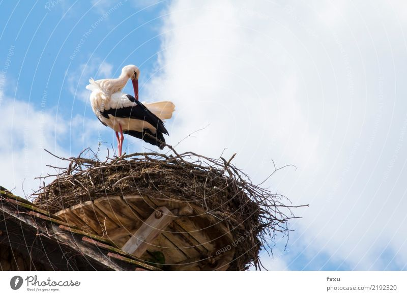 Always stay nice and clean Stork Nest Bird Eyrie Nature Animal Parental care Roof Blue Feather Sky Clouds Wing Freedom Looking Cleaning