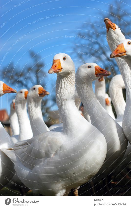Hello Martinsgans :-D Animal Farm animal Bird Group of animals Curiosity Goose Poultry Livestock breeding Beak chatter Poultry farm Colour photo Multicoloured