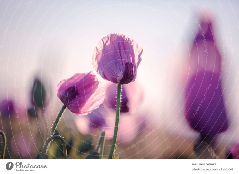 Purple Poppy Life Nature Landscape Plant Sunrise Sunset Spring Summer Beautiful weather Flower Blossom Agricultural crop Poppy blossom Poppy field Poppy capsule