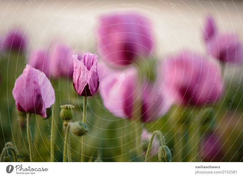 Purple Poppy Life Environment Landscape Plant Spring Summer Beautiful weather Flower Blossom Field Blossoming Fragrance Growth Natural Green Violet Spring fever