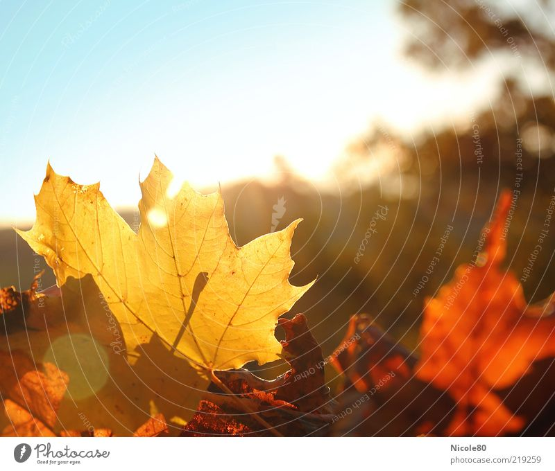 Nature Sun Plant Leaf Yellow Autumn Environment Gold Seasons Sunbeam Autumn leaves Lens flare Autumnal Maple leaf X-rayed
