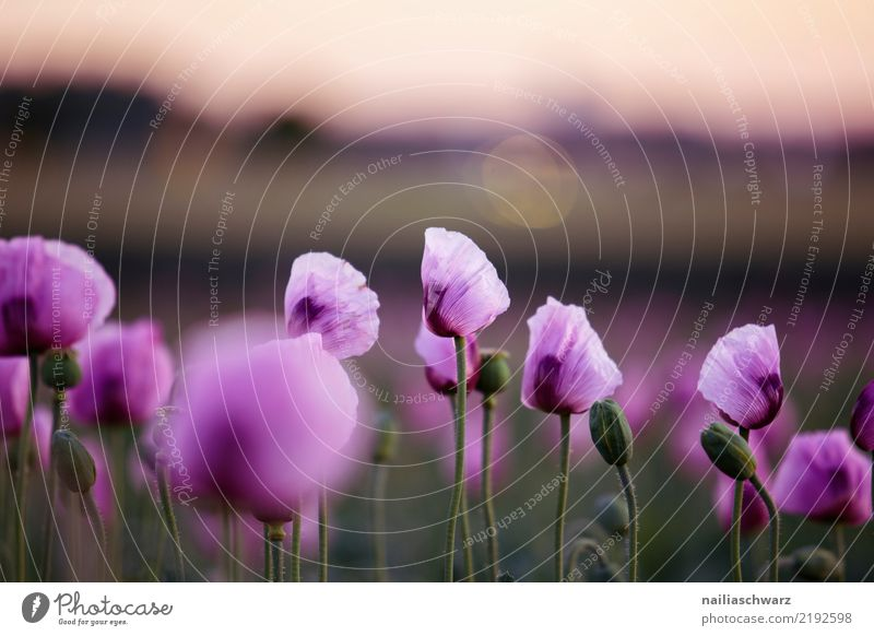 Purple Poppy Life Agriculture Forestry Environment Nature Landscape Plant Spring Summer Flower Blossom Agricultural crop Garden Park Meadow Field Blossoming