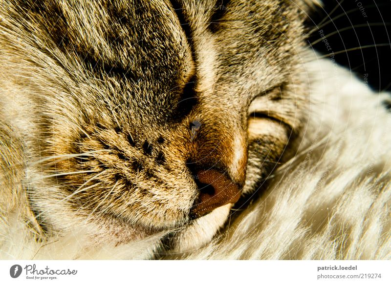 Nature Animal Relaxation Dream Cat Contentment Nose Sleep Near Animal face Lie Pelt Cute To enjoy Safety (feeling of) Pet