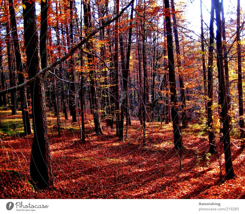 the red forest Environment Nature Landscape Plant Earth Autumn Weather Beautiful weather Tree Leaf Forest Stand Tall Brown Red Black Tree trunk mill district