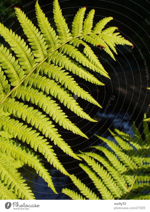fern Green Plant Leaf Pteridopsida