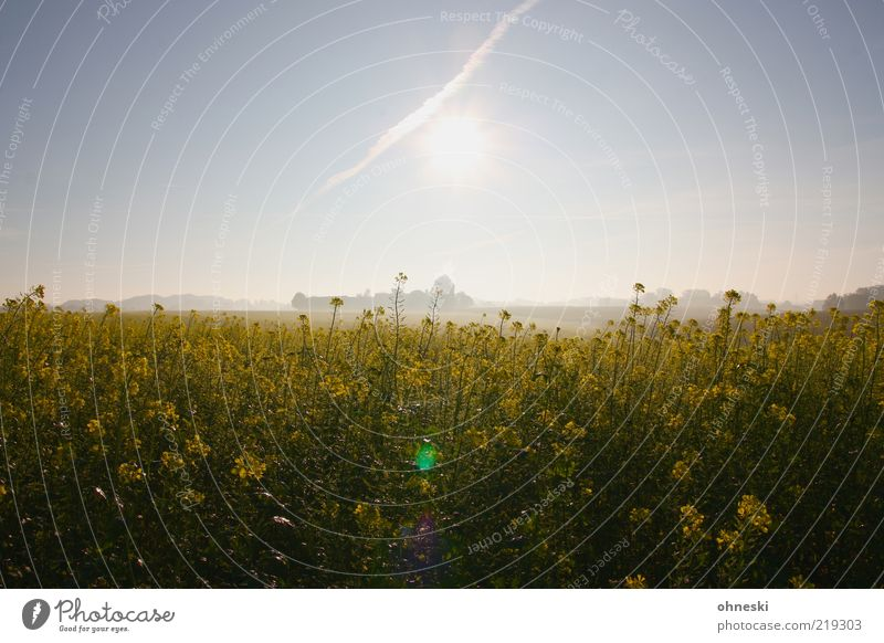 Nature Sun Plant Yellow Landscape Fog Beautiful weather Canola Sunset Canola field Agricultural crop Cloudless sky Clear sky