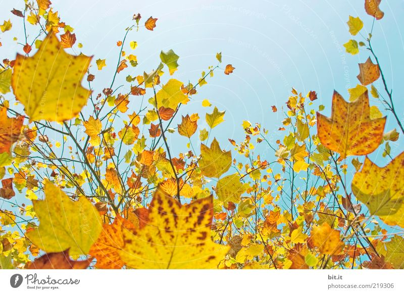 Fresh into autumn...(IX) Nature Plant Air Sky Cloudless sky Autumn Beautiful weather flaked Above Blue Yellow Gold Moody Environment Transience Change