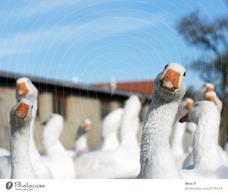 Look Look Gack Gack Animal Farm animal Bird Group of animals Curiosity White Goose Poultry farm Livestock breeding Looking Colour photo Exterior shot Close-up